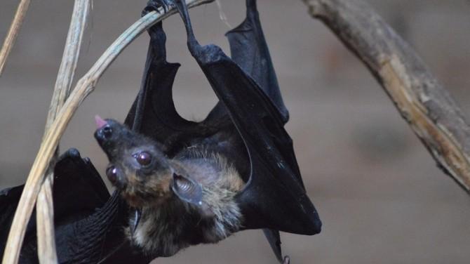 Новый коронавирус нашли у летучих мышей в Китае