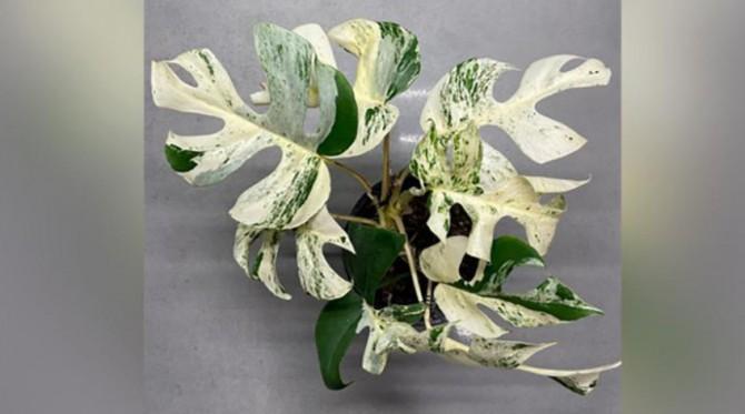 Домашний цветок продали на аукционе за 19 тысяч долларов