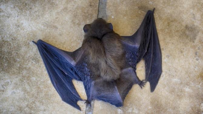 Индийские ученые обнаружили опасный для человека вирус у летучих мышей