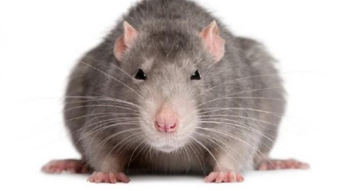 В Испании крыса сорвала заседание регионального парламента (ВИДЕО)