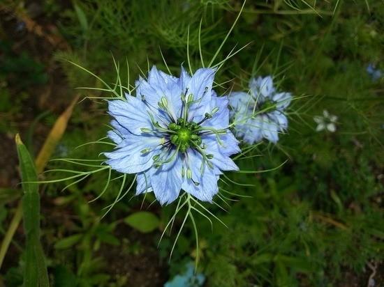 Растение Nigella sativa оказалось способно помочь в лечении COVID-19