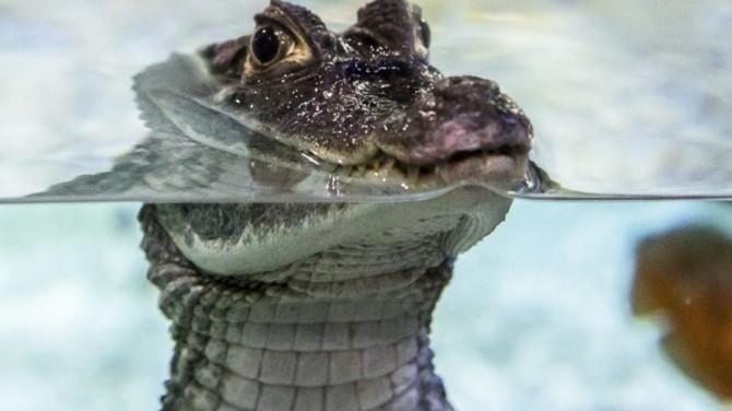 Полиция США нашла основания для ареста аллигатора