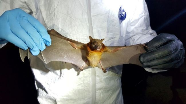 США спонсировали изучение коронавируса летучих мышей в Ухане
