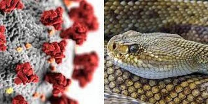 Яд бразильской гадюки оказался эффективным средством борьбы с коронавирусом